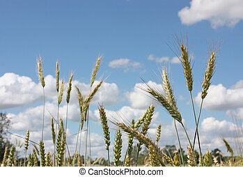 wheat ears on blue sky with white clouds background
