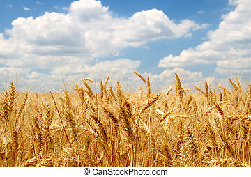 Wheat ears on field under blue sky