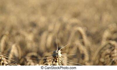 Wheat ears on the field