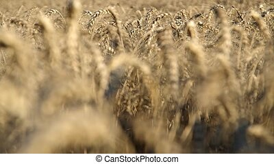 Wheat ears on the field