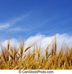 wheat ears  - Wheat ears against the blue  sky