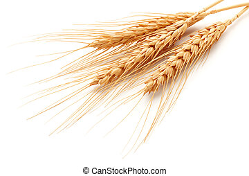 wheat ears (triticum) isolated on white background