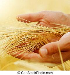 wheat., ernte, begriff