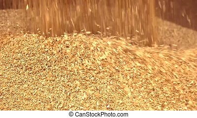 Wheat falling on heap. Yellow harvest flowing down, close...