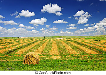 Wheat farm field at harvest - Harvested wheat on farm field ...