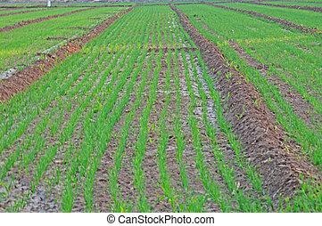 wheat farming 3