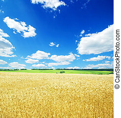 A field of golden wheat and blue sky
