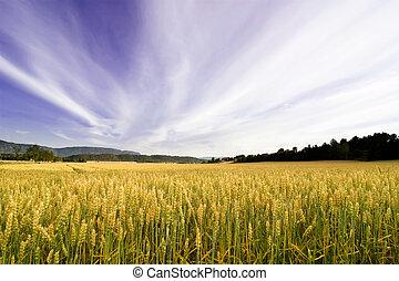 Wheat Field - A wheat field in a dramatic landscape