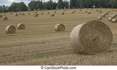Wheat field after harvest with straw bales. Row of straw...