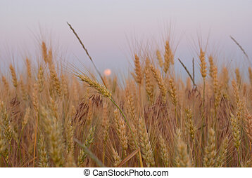 Wheat field against blue twilight sky
