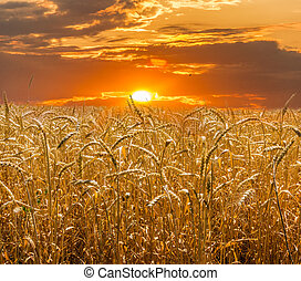 Wheat field against the backdrop of the setting sun