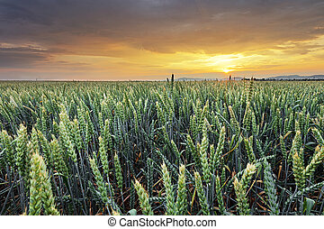 Wheat field - Agriculture