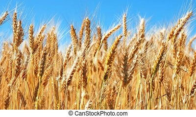 Wheat field and blue sky - Creative abstract agriculture,...