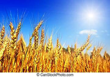 crop on wheat field in sunlight and blue sky