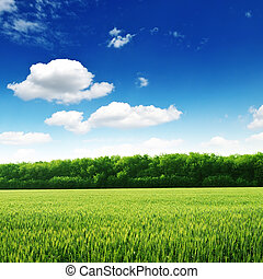 wheat field and blue sky