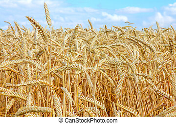 wheat field and blue sky with clouds