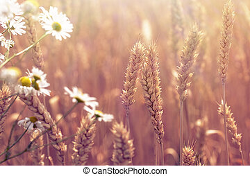 Wheat field and daisy flower - beautiful nature
