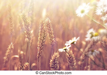 Wheat field and daisy flower lit by sunlight