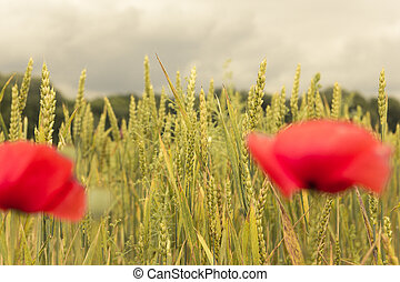 Wheat field and ears of wheat with red poppy flowers