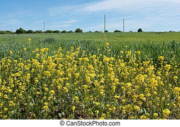 Wheat field and flowering rape plan