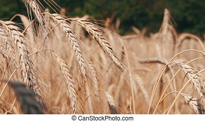 Wheat Field and Spikelets - Gold Wheat Field and Spikelets,...
