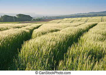 Wheat field at sunrise in English countryside landscape
