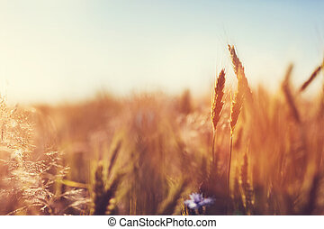 Wheat field at sunset. Agriculture, harvest concept.