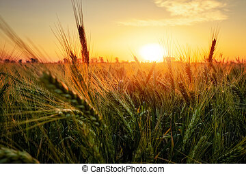 Wheat field at sunset. Beautiful evening landscape. Spikelets of wheat close-up. Magic colors of sunset light