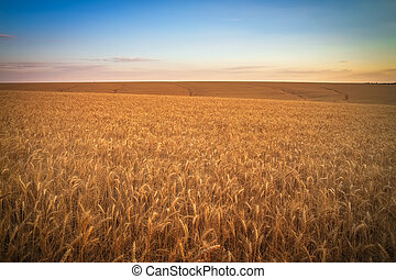Wheat field at sunset. Beautiful evening landscape. Spikelets of wheat turn yellow. Magic colors of sunset light