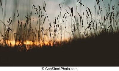Wheat field at sunset.