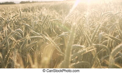 Wheat field at sunset - Wheat Field at Sunset. Ears of wheat...