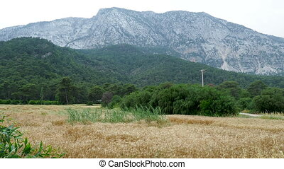 Wheat field at the foot of the mountain. Wheat ears are...