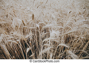 Wheat field  at the summer.