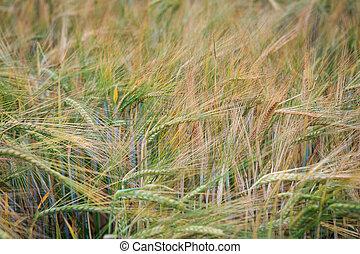 Wheat field - barley