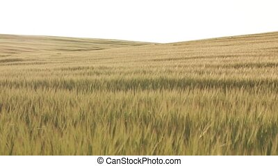 Wheat Field Before Sunset, slow dolly shot - Gold field of...