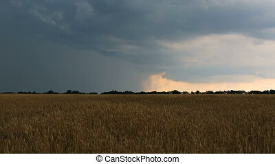 Wheat field before thunder and rain. the harvesting