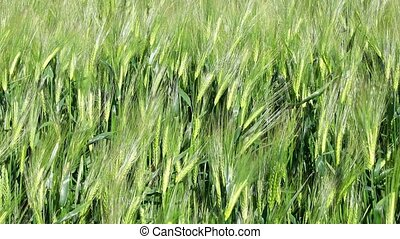 Wheat field - Creative abstract agriculture and farming...