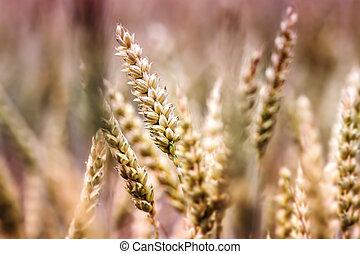 Wheat Field Detail Photo