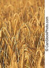 Wheat field detail