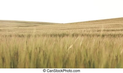 Wheat Field dolly shot - Gold field of wheat and the sky...