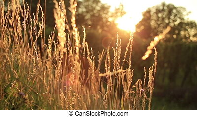 Wheat field. Ears of golden wheat close up. Beautiful Nature Sunset Landscape. Rural Scenery under Shining Sunlight.