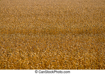 Wheat field. Ears of golden wheat close up. Background of ripening ears of meadow wheat field. Rich harvest Concept