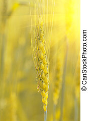 Ears of golden wheat close up.
