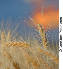 Wheat field. Ears of golden wheat close up. Beautiful Nature Sunset