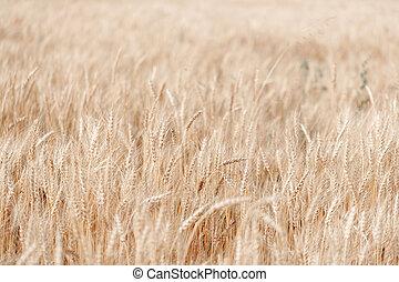 Wheat field. Ears of golden wheat close up. Rural Scenery under Shining Sunlight.