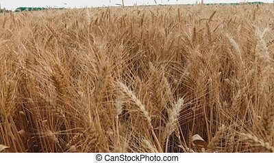 Wheat field. Ears of golden wheat close up slow motion video...