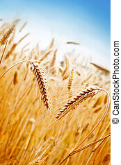 Wheat Field - Ears of golden wheat on the background of ...