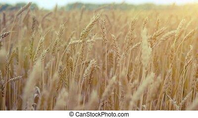 Wheat field. Ears of golden wheat. Rural Scenery under Shining Sunlight camera in slowmotion. 1920x1080