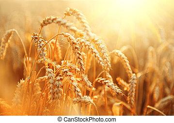 Wheat field. Ears of golden wheat closeup. Rural scenery under shining sunlight