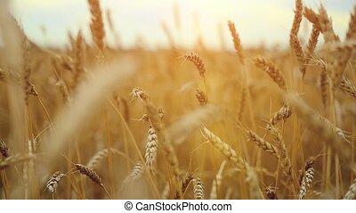 Wheat field. Ears of golden wheat . Beautiful Nature Sunset Landscape. Rural Scenery camera in slowmotion. 1920x1080
